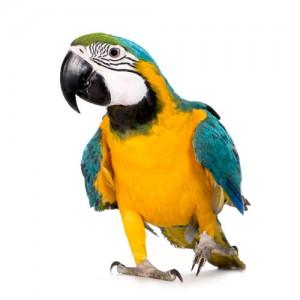 papegøje-forsikring