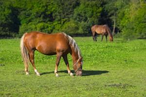 heste 1000